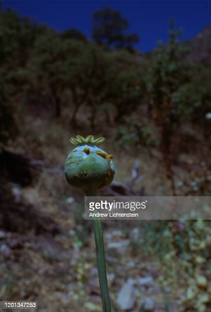 Opium poppies already scored for the harvest of the sap which will be processed into heroin for the Juarez Cartel grow in small isolated plots in May...
