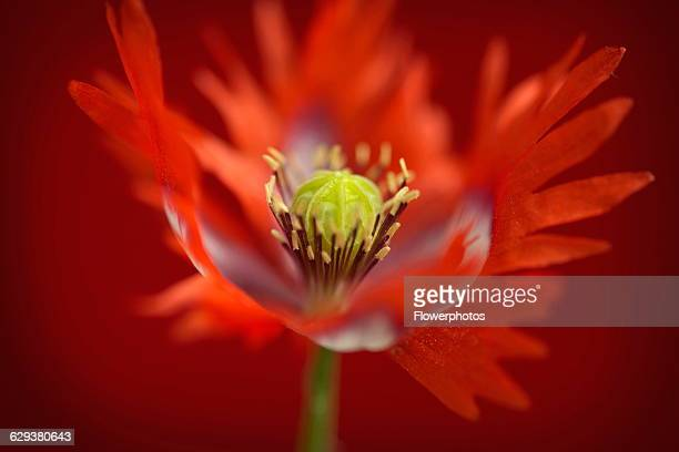 Danish flag stock photos and pictures getty images opium poppy papaver somniferum danish flag red and white coloured flower showing fringed petals mightylinksfo