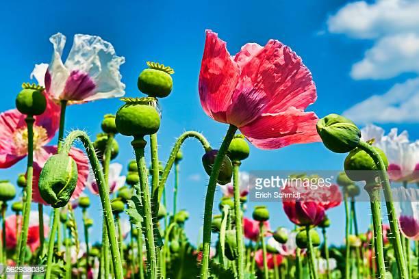 Opium Poppy -Papaver somniferum-, flowers and flower buds