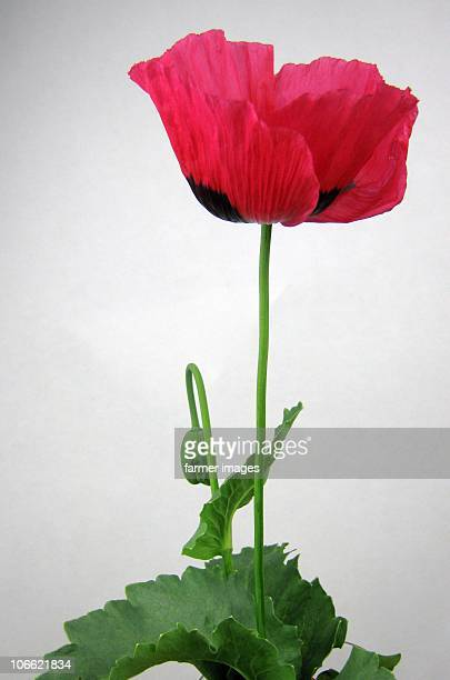 opium poppy (papaver somniferum) - opium poppy stock pictures, royalty-free photos & images