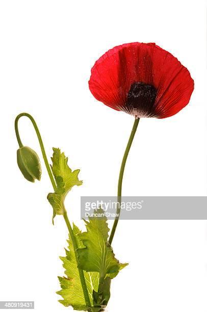 opium poppy - opium poppy stock pictures, royalty-free photos & images