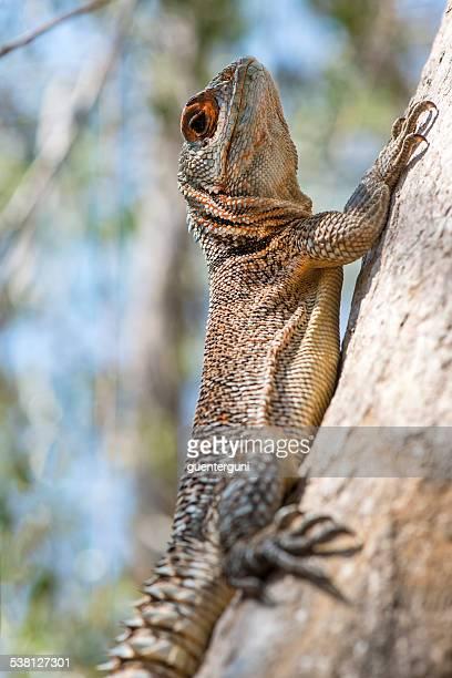 Oplurus cyclurus Iguane (Merrem de Madagascar Swift)