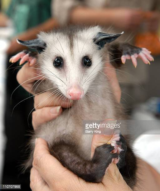 """Opossum at Laguna's Festival of Arts in Laguna Beach, California on July 26, 2003 for the special """"Walk on the Wild Side"""" event."""