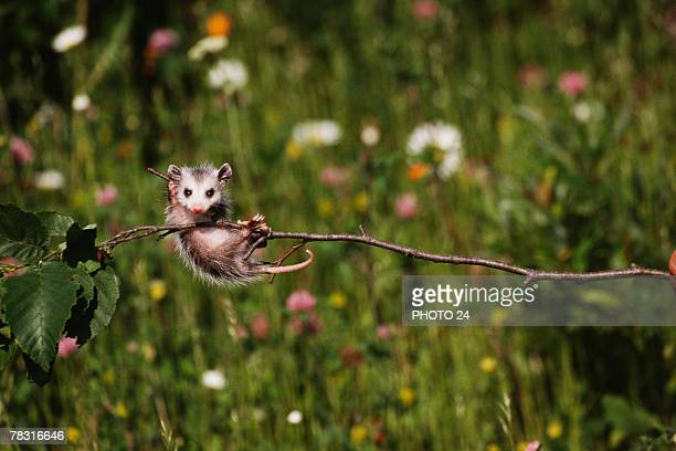 opossum baby - opossum stock pictures, royalty-free photos & images