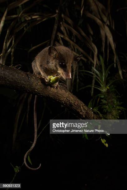 opossum catching a cricket - christopher jimenez nature photo stock pictures, royalty-free photos & images