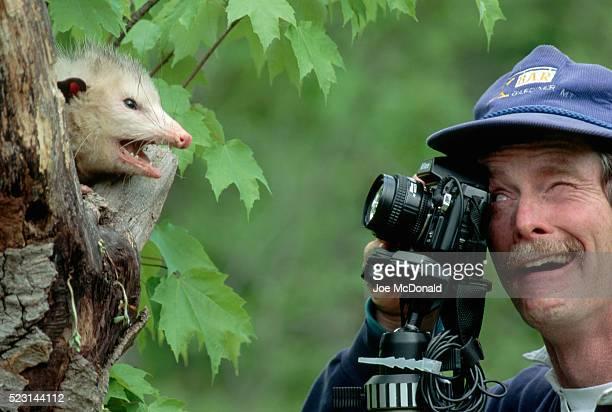 opossum hisses at photographer - opossum foto e immagini stock