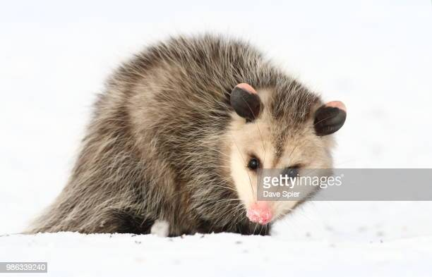 opossum on the snow (ny) - opossum stock pictures, royalty-free photos & images