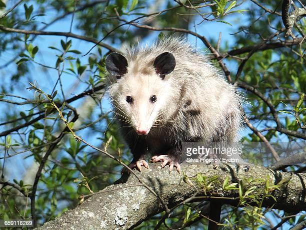 Opossum On Tree