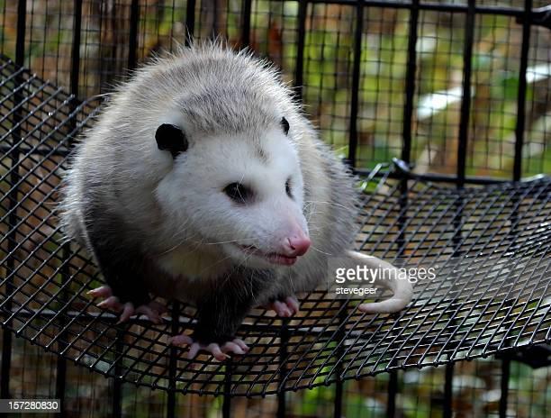 opossum - opossum americano foto e immagini stock