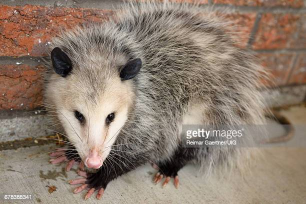opossum - opossum stock pictures, royalty-free photos & images