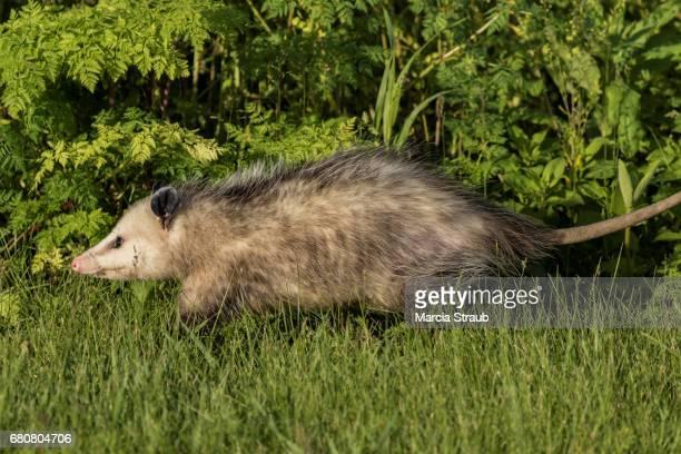 opossum - possum stock pictures, royalty-free photos & images