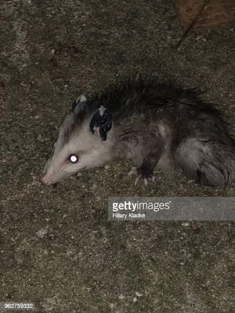 opossum playing dead - opossum americano foto e immagini stock