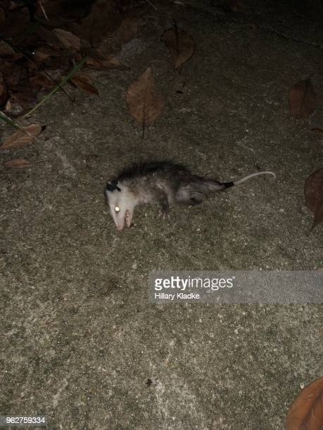 opossum playing dead - opossum foto e immagini stock