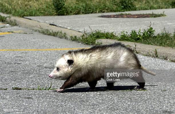 opossum RedTailed Hawk Raccoon