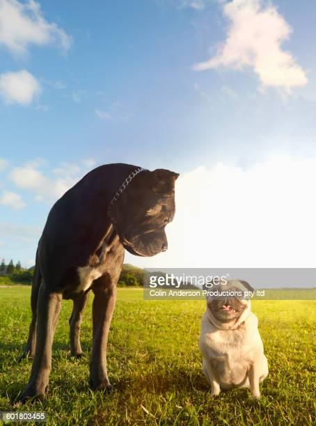 Opposite dogs in grass field