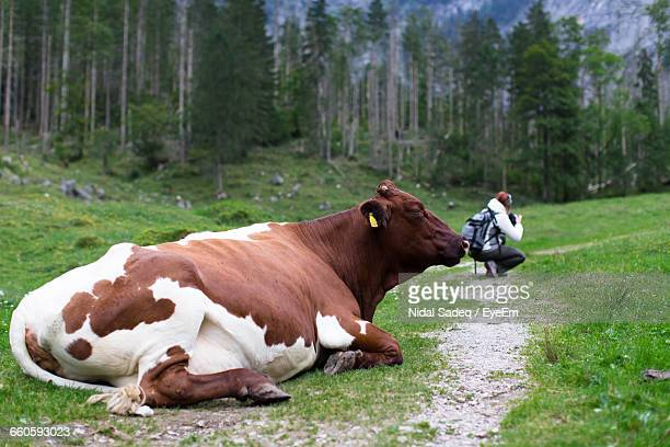 Optical Illusion Of Cow Relaxing By Woman Photographing On Field