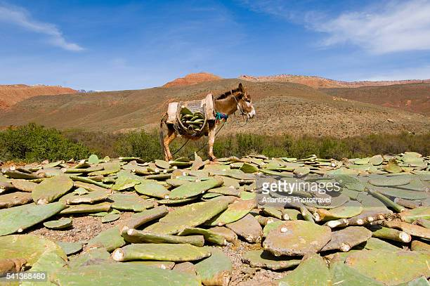 Opuntia Cactus Segments for Laid Out Near Donkey
