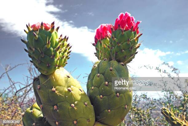 Opuntia cactus with brilliant red flower buds