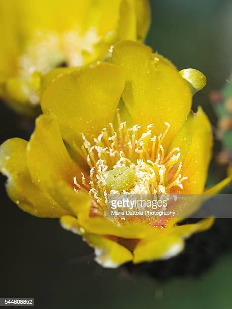 Opuntia ficus indica flower macro (Cactaceae)