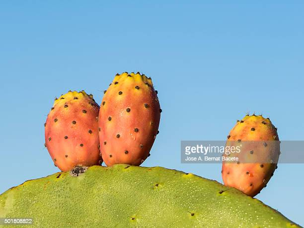 Opuntia ficus-indica (Barbary Fig), close-up