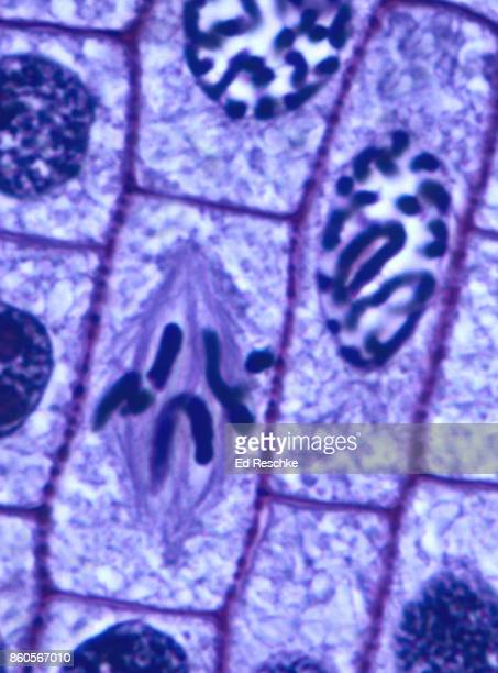mitosis or cell division in  plant--prophase and metaphase, onion root tip, 500x - mitose imagens e fotografias de stock