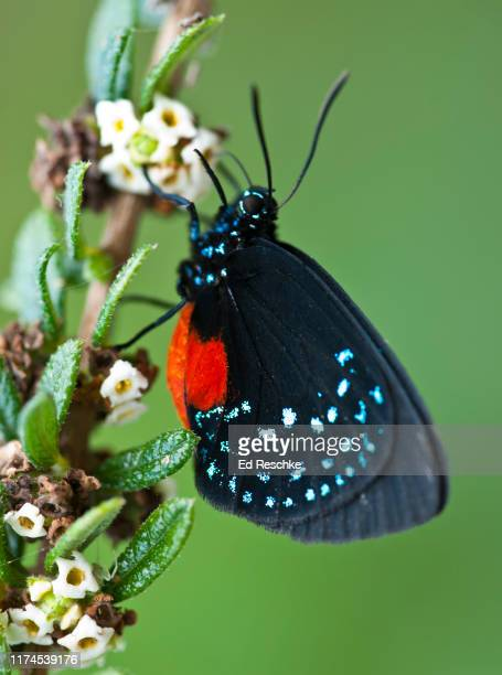 atala or coontie hairstreak (eumaeus atala) has aposematic (warning) coloration - eumaeus stock photos and pictures