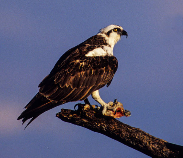 OSPREY or FISH HAWK (Pandion haliaetus) WITH a FISH in its TALONS, A GREAT CONSERVATION COMEBACK