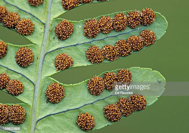 FERN SORI or FRUIT DOTS, clusters of SPORANGIA, Polypody Fern. Polypodium vulgare. The red-brown sori contains clusters of sporangia that produce spores.  Moist, shady, woods.  Michigan