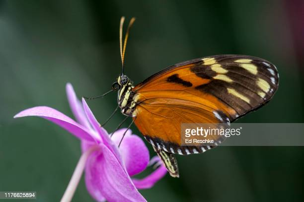 golden longwing butterfly (heliconius hecale) or golden helicon, on an orchid - {{asset.href}} imagens e fotografias de stock