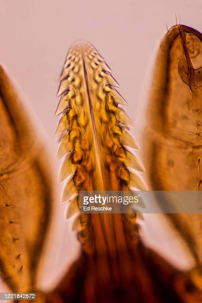 piercing organ or hypostome close-up in a deer tick (ixodes dammini), vector of lyme disease, 50x - ed reschke photography photos et images de collection