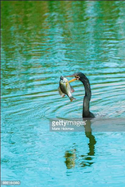 REDEAR SUNFISH or SHELLCRACKER being speared for dinner by an ANHINGA BIRD