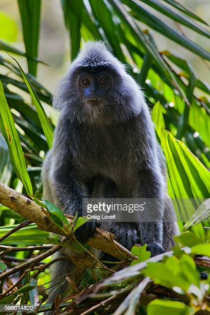 A  SILVER BACKED LEAF MONKEY or SILVERY LUTUNG in BAKO NATIONAL PARK which is located in SARAWAK - BORNEO, MALAYSIA