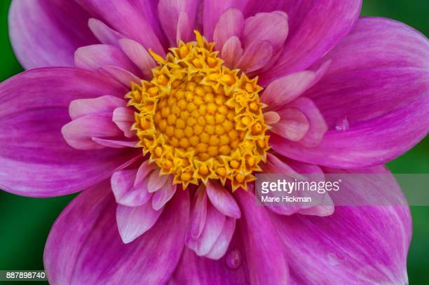 Pink flower with yellow center stock photos and pictures getty images fibonacci mathematical pattern or spiral shown in yellow center of pink dahlia mightylinksfo Image collections