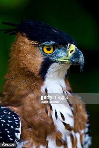 The intense yellow eyes of an Ornate Hawk-Eagle staring into the surrounding rainforest.