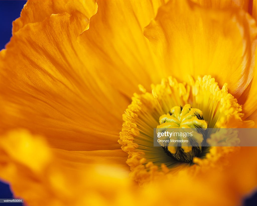 Oranager poppy, extreme close up : Stock Photo