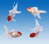 Free Goldfish Oranda 1 Stock Photo - FreeImages com