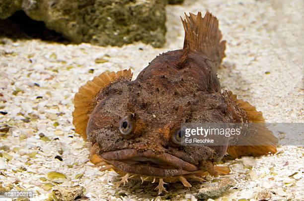 orang toadfish, opsanus sp., mote aquarium, sarasota, florida, usa. a bottom-dwelling predator. western atlantic. - aquatic organism stock pictures, royalty-free photos & images