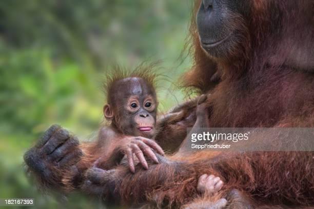 Orang Utan baby in the hands of her mother