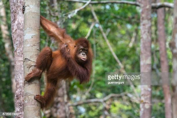 Orang Utan climbing in a tree, wildlife shot, Borneo, Indonesia