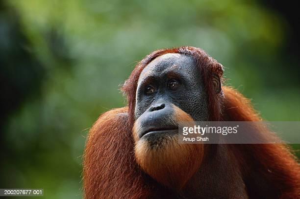 orang utan (pongo pygmaeus) close up, gunung leuser n.r, indonesia - great ape stock pictures, royalty-free photos & images