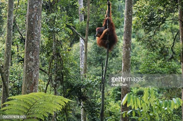 Orang utan (Pongo pygmaeus) hanging, Gunung Leuser N.R, Indonesia