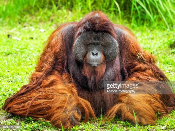 orang utan kalimantan relaxing and basking in the sun - orangutan stock pictures, royalty-free photos & images