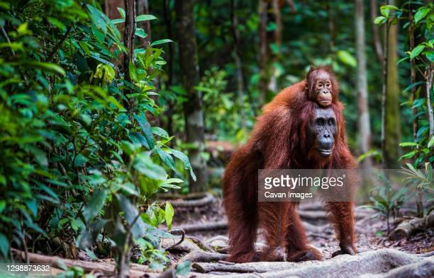 orang utan with baby walking in forrest - palm oil stock pictures, royalty-free photos & images