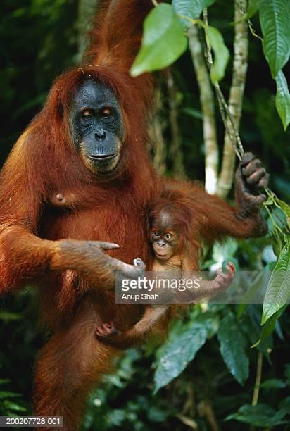 orang utan (pongo pygmaeus) with young, gunung leuser n.p, indonesia - orang outan photos et images de collection