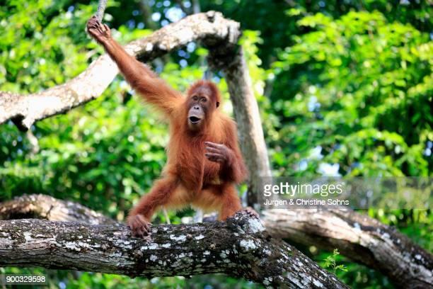 Orang Utan (Pongo pygmaeus), young animal climbing on tree, captive, occurrence Borneo