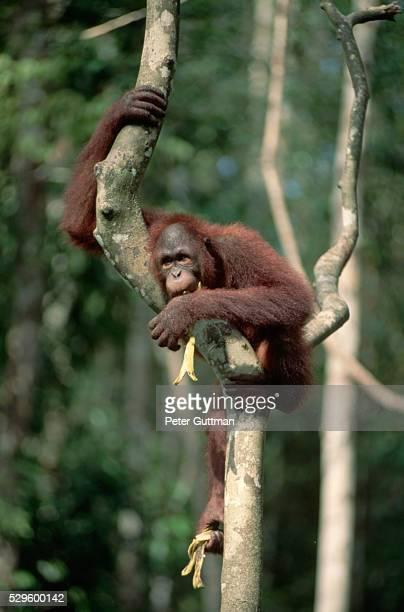 Orangatan Eating a Banana