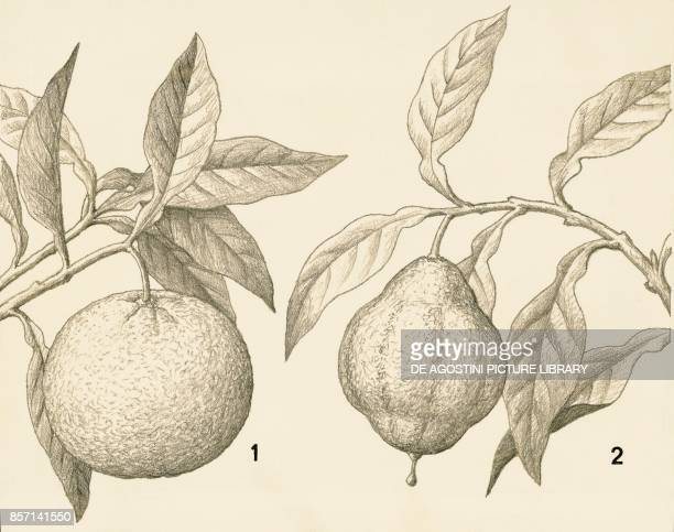 Orange and bergamot drawing