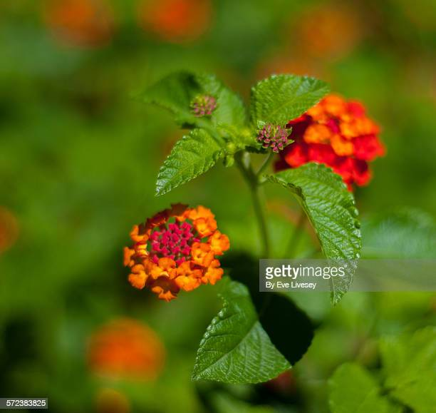 Orange and Deep Pink Lantana Flowers