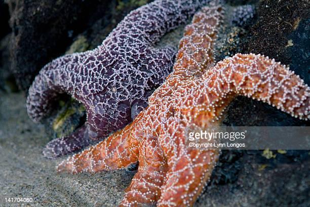 Orange and purple starfish
