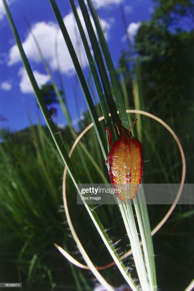 A orange and red beetle on blades of grass : Stock Photo